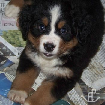Puppy Litters Of Bernese Mountain Dogs Bmd Expressions Of Grace