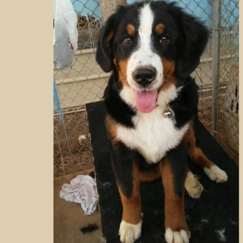Famale Bernese Mountain Dogs | BMD | Expressions of Grace Berners