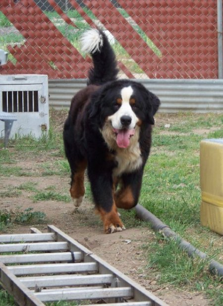 About Us Bernese Mountain Dogs Bmd Expressions Of Grace Berners