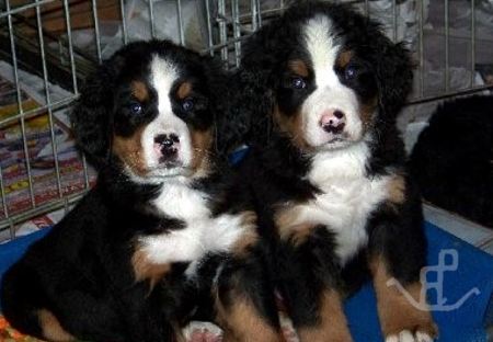 Berner Puppies Corgi Puppies In San Diego Southern California